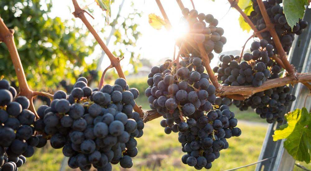 Vigne à vin