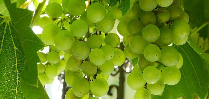 raisins-vignoble